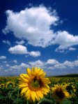 izzet-keribar-sunflowers-in-anatolia_-turkey