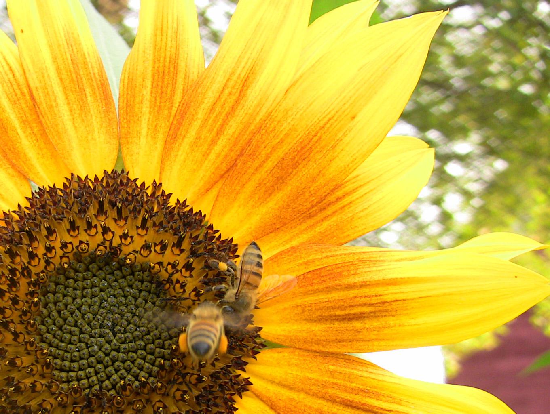 sunflower_bees.jpg
