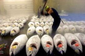 bluefin-tuna.jpg?w=273&h=180